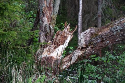утро упавшее дерево